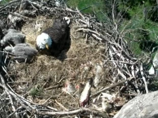 "As the calendar switched from March to April, the little ""fluffy"" eaglets began to grow larger and the feathers became a darker gray. April 2, 2012, 8:52am."
