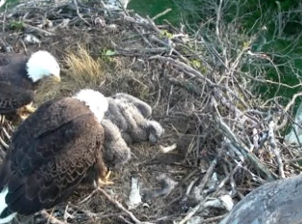 April 9, 2012, 3:53pm. Both of the adult eagles join the eaglets in the nest.