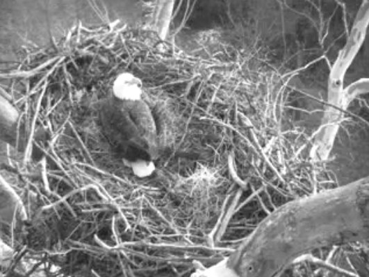 February 9, 2012 - 6:10pm ET - Eagle sitting on the eggs and saying HI to the camera.