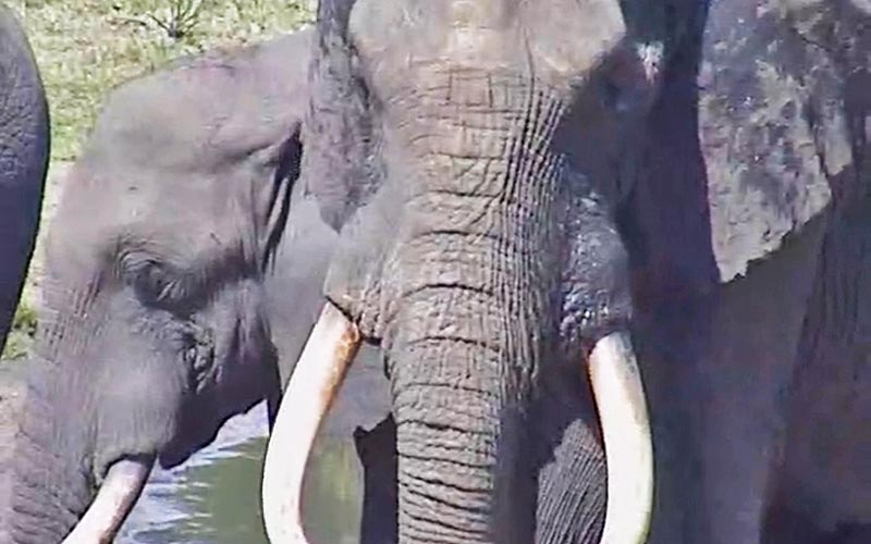 These African bush elephants, as opposed to African forest or Asian species, have gigantic ears to help cool themselves. An Africam blog noted their self-awareness and empathy as they stopped on camera momentarily to oversee a dying animal.