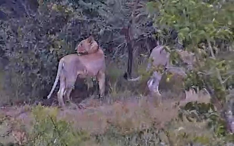 This lion gives one last look before disappearing from the camera view.