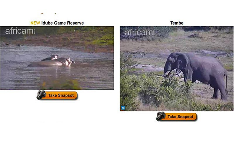 Viewers can watch wildlife go about their business on several screens and when action hits, can go to full screen. The Rangers operating the cameras often pan and zoom in on the animals. Following are screen shots – so some are a touch fuzzy -- depicting
