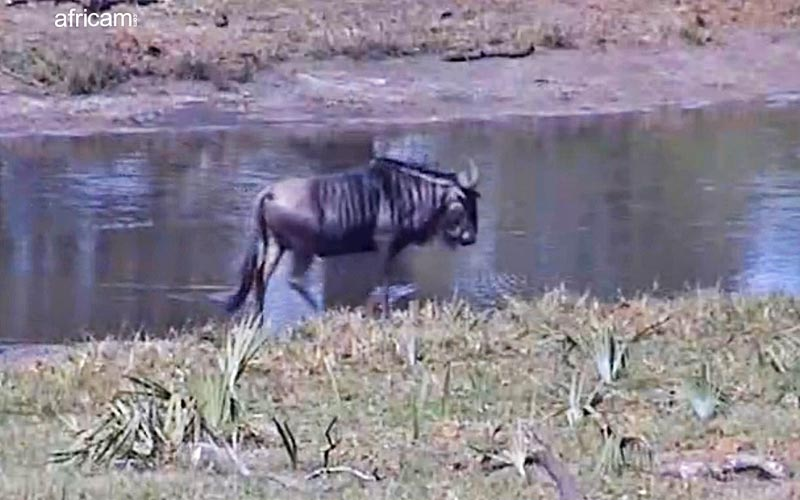 Africams has been operating since 1999 and has brought viewers from around the world images like this wildebeest.