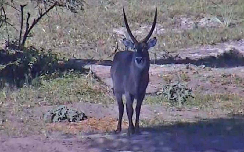 This waterbuck hangs in the shade. The animals act wary approaching the water hole at times.