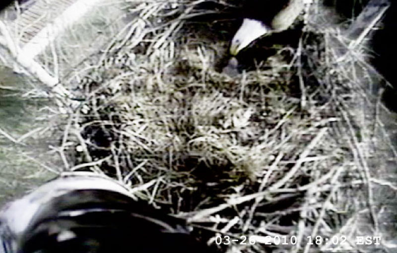 March 26, 2010 - See the 5-day old eaglet