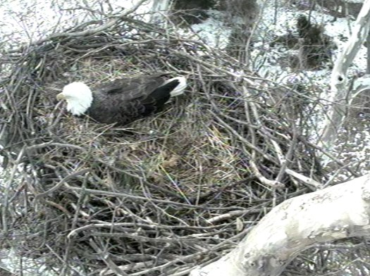 Feb 6, 2011 - 11:30am ET - The first egg was laid yesterday evening, being kept warm under the eagle.