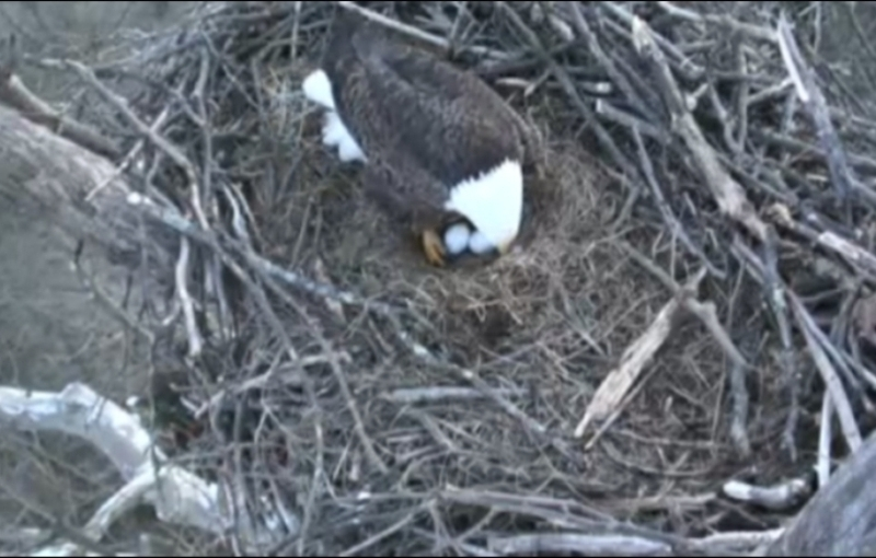 The eagle parents continuously rotate the eggs using their feet and beaks.