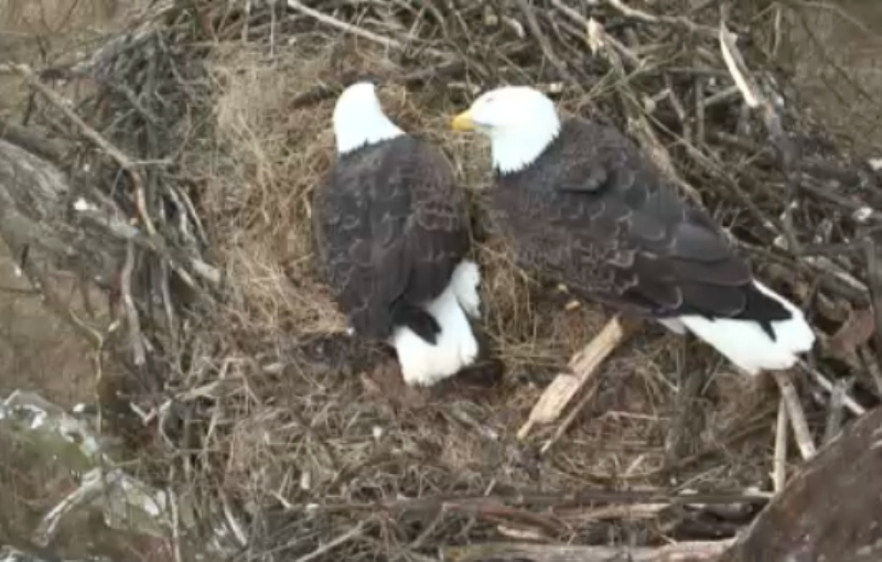 Both eagle parents share incubating duties.
