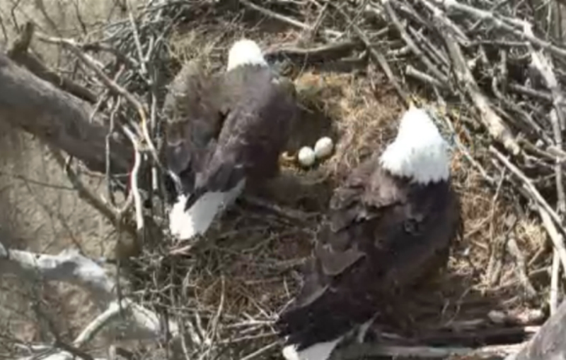 The eagle family with their two eggs.