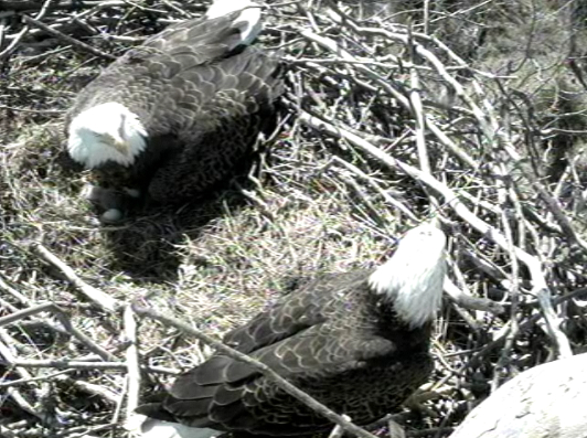 Mar 17, 2011 - 14:02pm ET - Two eagles are in the nest. Is the one on the right Liberty? Or an intruder? Hmmm...