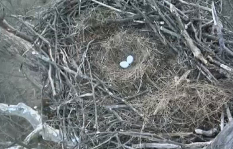 The two eggs wait patiently for mommy and/or daddy to return to the nest.