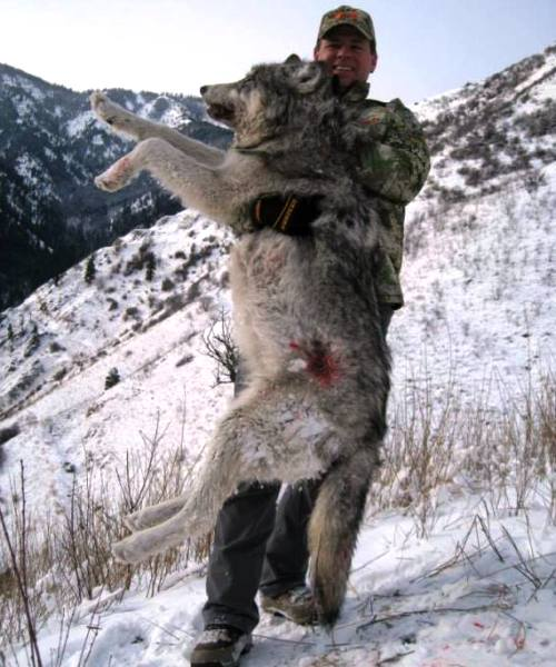 Another wolf in Idaho's managed hunt goes to Carter. The state allots a certain number of permits per region. (Courtesy Ridge Reaper)